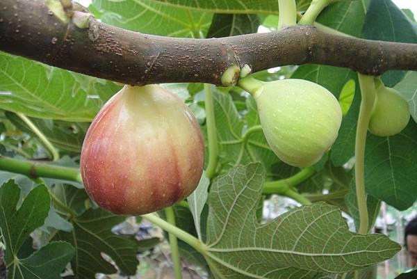 無花果原產於中東和西亞地區  栽培歷史已超過五千多年   因外觀見果不見花而得名