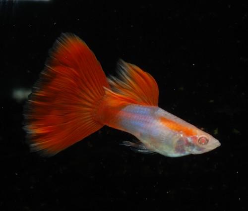 日本藍紅尾白子---公.jpg