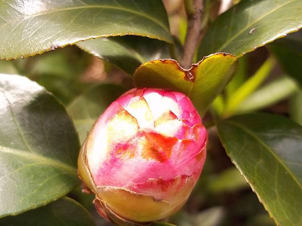 茶花-含苞待放.jpg