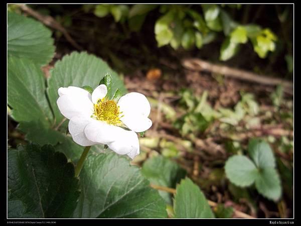 草莓開花.jpg
