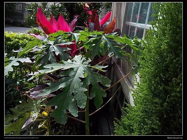 硬生生長在小土地上的木瓜.jpg