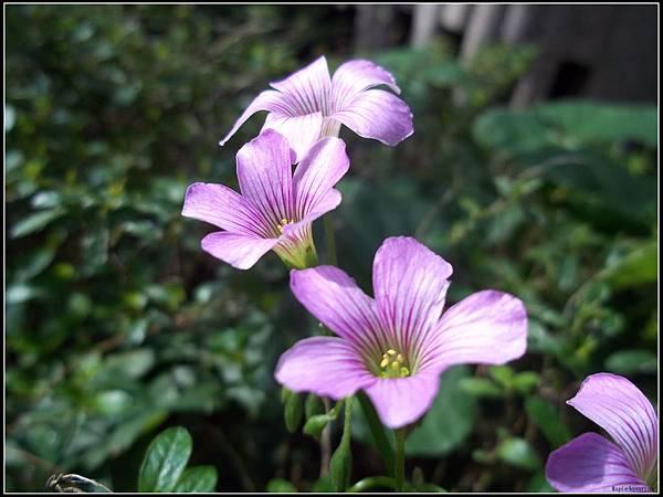 紫花醡漿草1.jpg