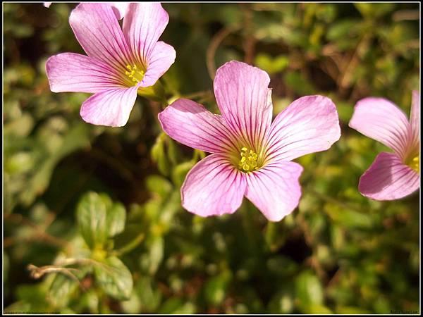 紫花醡漿草2.jpg
