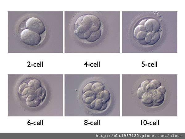 試管嬰兒受精卵著床過程