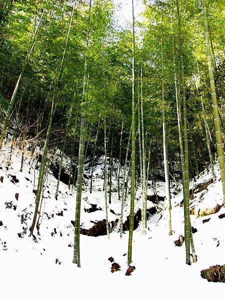 黃山,山下竹