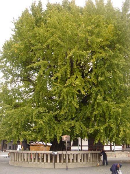 西本願寺內的超大銀杏樹