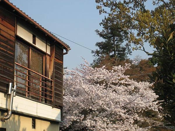 IMG_5103 我家門前有櫻花~.JPG