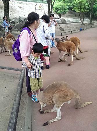 九州自然動物公園-袋鼠