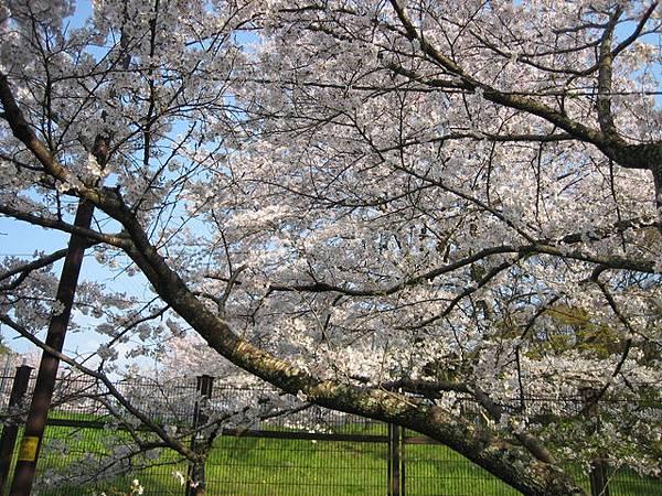 IMG_5082 過去是變電所,有很多漂亮的櫻花,可惜不能進去.JPG