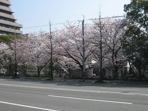 IMG_4862 真的是到處有櫻花呢.JPG