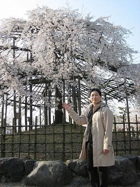 IMG_5071 很大一棵櫻花樹.JPG