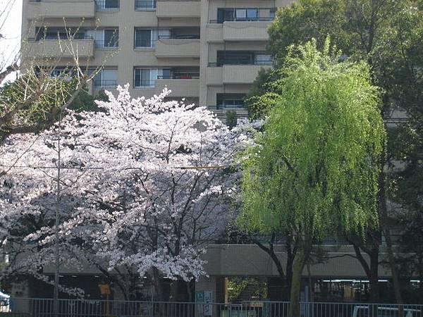 IMG_4865 剛剛路旁的櫻花.JPG