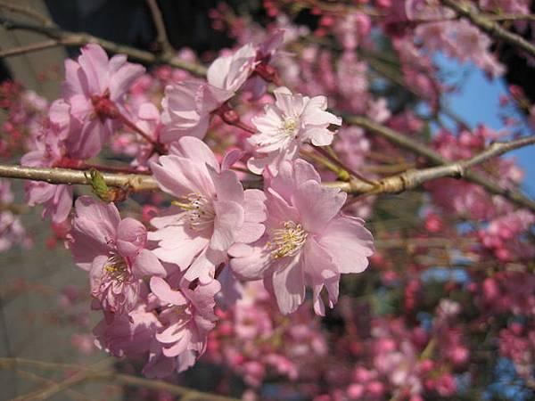 IMG_4818 不一樣的櫻花.JPG
