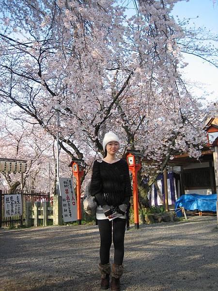 IMG_4795 滿滿的櫻花.JPG
