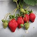 草莓姐妹排排站