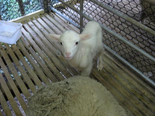 可愛的小羊