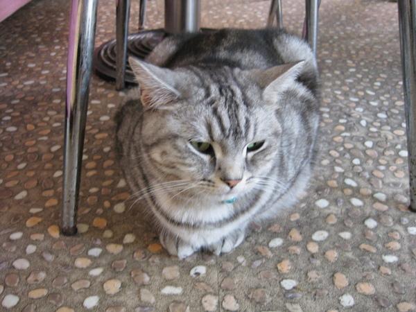 店貓-拿鐵