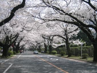 icu櫻花隧道