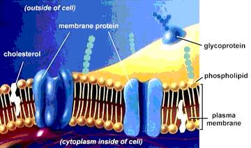 細胞膜.jpg