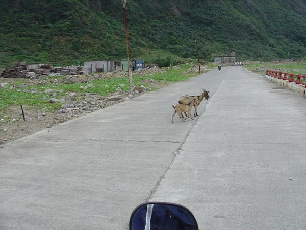 蘭嶼~動物會跟車子與人爭道