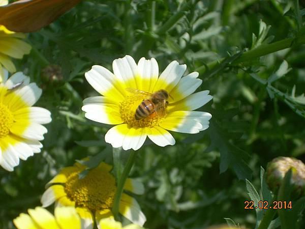 茼蒿花 與蜜蜂 (11)