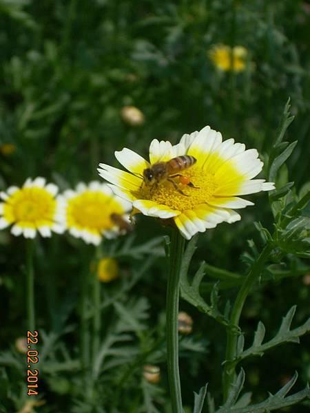 茼蒿花 與蜜蜂 (7)