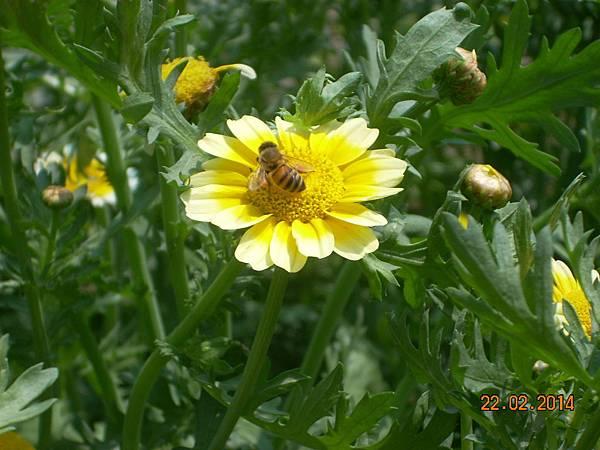 茼蒿花 與蜜蜂 (15)