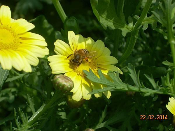 茼蒿花 與蜜蜂 (12)