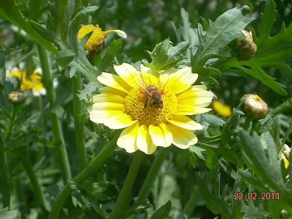 茼蒿花 與蜜蜂 (13)