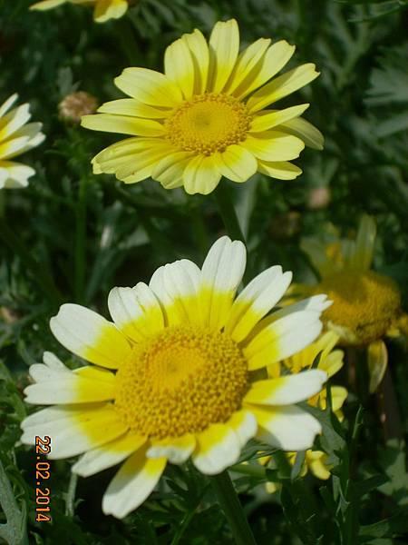 茼蒿花 與蜜蜂 (6)