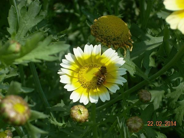 茼蒿花 與蜜蜂 (8)