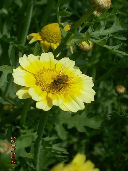 茼蒿花 與蜜蜂 (3)