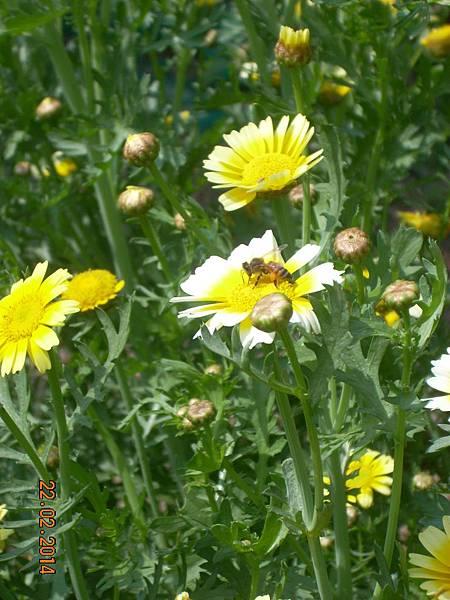 茼蒿花 與蜜蜂 (5)