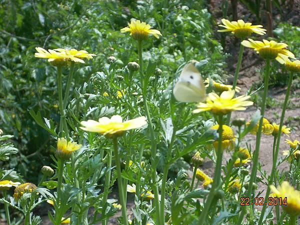 茼蒿花 與美麗的害蟲