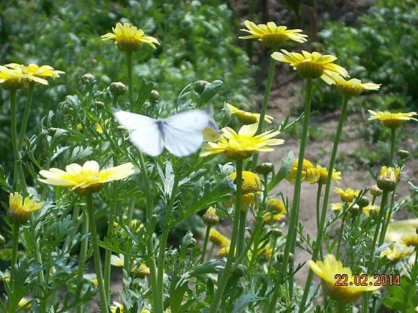 茼蒿花 與美麗的害蟲 (2)