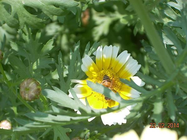 茼蒿花 與蜜蜂
