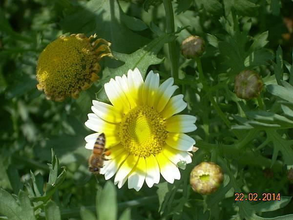 茼蒿花 與蜜蜂 (2)