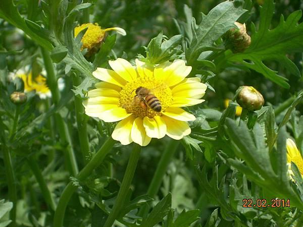 茼蒿花 與蜜蜂 (14)