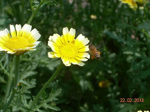 茼蒿花 與蜜蜂 (9)