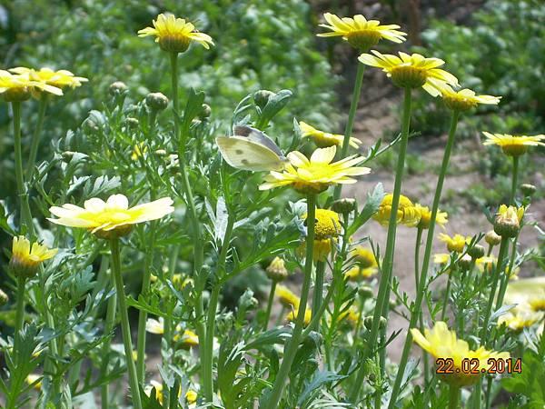 茼蒿花 與美麗的害蟲 (3)