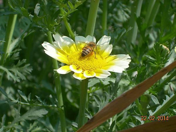 茼蒿花 與蜜蜂 (10)