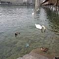 還有不同品種的水鴨