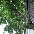 門前的楊桃樹