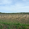 一大片的葡萄園