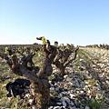 剛冒新芽的葡萄樹