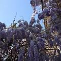 很漂亮的紫色的樹