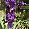紫色的鳶尾花