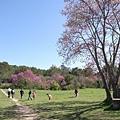四週開滿紫紅色的樹喔!