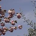 粉紅色的櫻花?