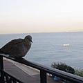 鴿子來作伴